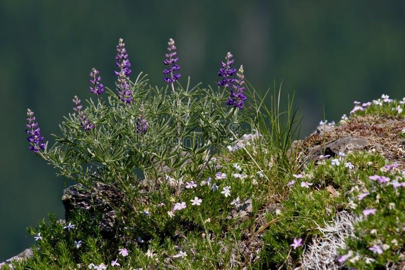 Wildflowers Lupine e flox roxos do cume imagem de stock