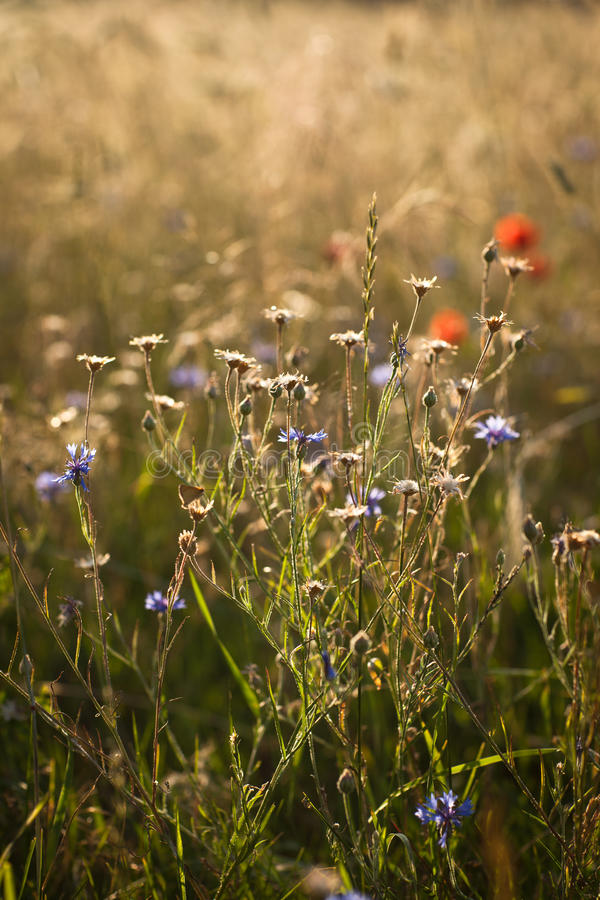 Wildflowers on the meadow. Colorful wildflowers on the meadow in the sunset light royalty free stock photo