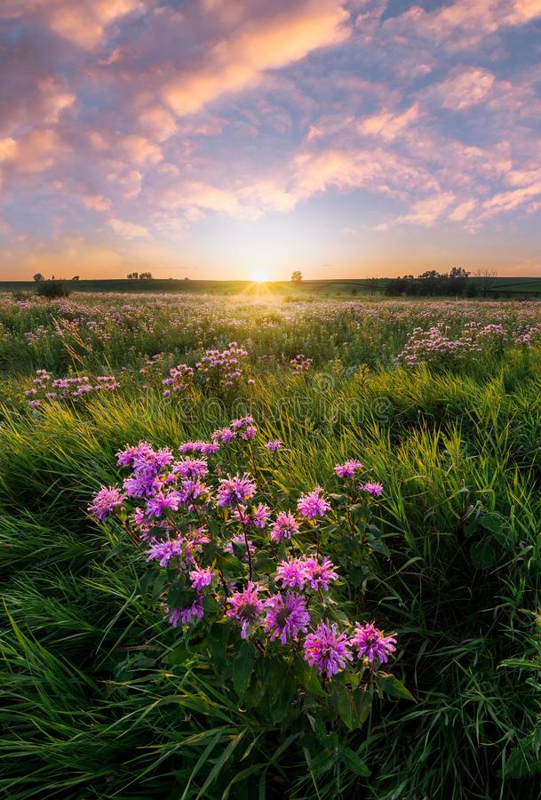 Wildflowers in a meadow over the lake at sunset. In minnesota royalty free stock image