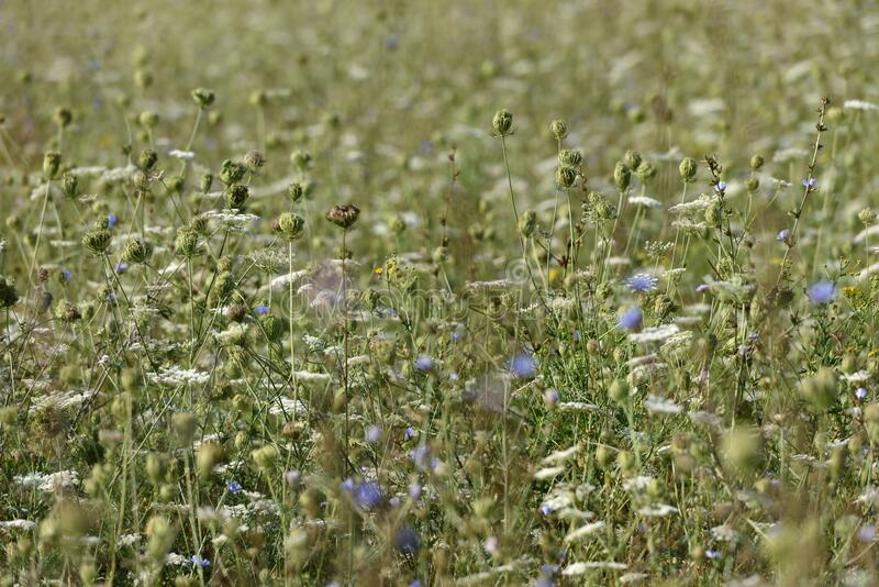 Wildflowers in a meadow. Wild flowers, some dry, blue stock image