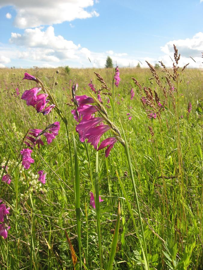 Wildflowers in the meadow. Field gladiolus red flowers green grass summer vegetation stock photos
