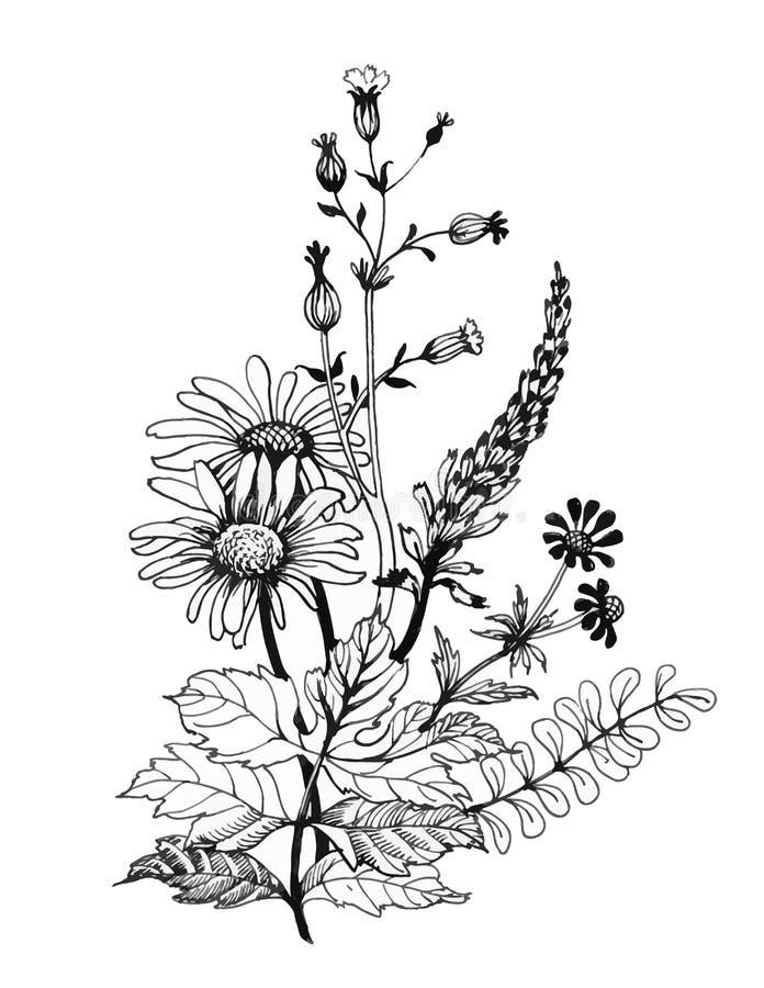Wildflowers monocromáticos do vintage, ilustração da aquarela no fundo branco ilustração stock
