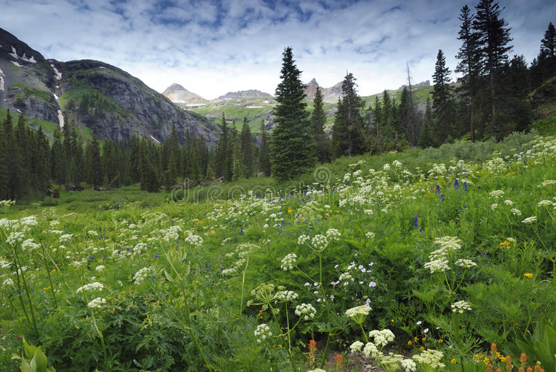 Wildflowers in montagne di San Juan in Colorado fotografia stock