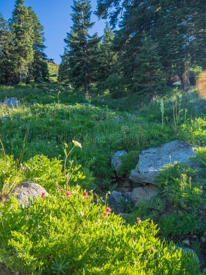 Wildflowers in mountain meadow. Wildflowers in bloom in a mountain meadow with rock and trees at Mt. Ashland in the Siskiyou mountains of southern Oregon royalty free stock photos