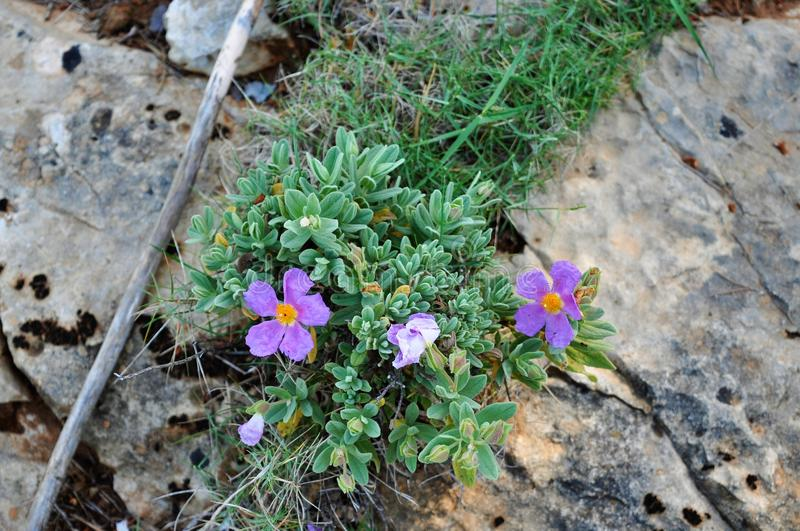 Wildflowers in the mountains, Mallorka Spain royalty free stock photography