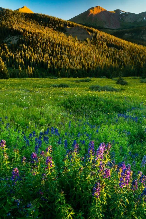 Wildflowers na luz da noite foto de stock