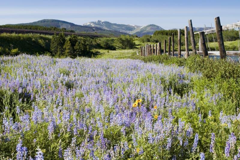 Wildflowers nella sosta nazionale del ghiacciaio fotografie stock libere da diritti