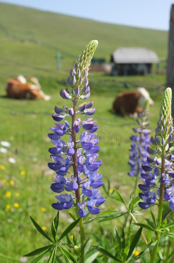 Wildflowers nos cumes austríacos em um dia ensolarado foto de stock royalty free
