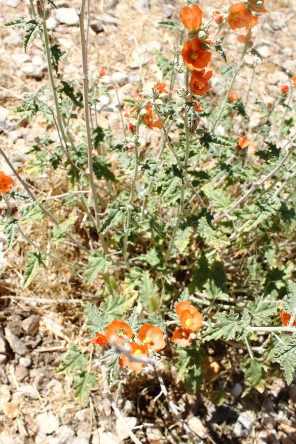 Wildflowers oranges de mauve de désert avec le feuillage vert pâle avec un fond de désert photographie stock