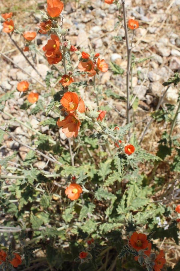Wildflowers oranges de mauve de désert entourés avec le feuillage vert pâle Wildflowers oranges de mauve de désert avec le feuill image stock
