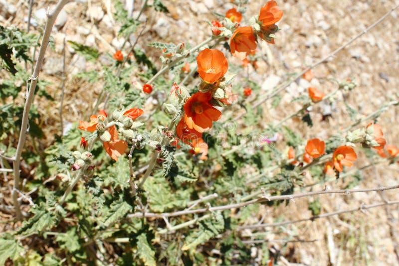 Wildflowers oranges de mauve de désert entourés par le feuillage vert pâle avec un fond de désert photo stock
