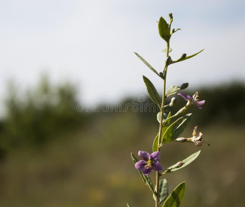 Wildflowers pequenos azuis Com folhas verdes Vista lateral imagem de stock royalty free