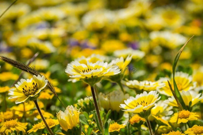Wildflowers platyglossa Layia обыкновенно вызывали прибрежный tidytips, зацветая на побережье Тихого океана, пункт Mori, Pacifica стоковые фото