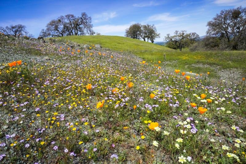 Wildflowers pola, Henry W Coe stanu park, San Francisco zatoki teren, Kalifornia zdjęcie stock