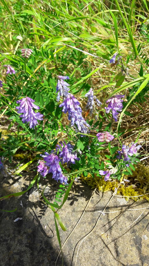 Wildflowers porpora immagine stock