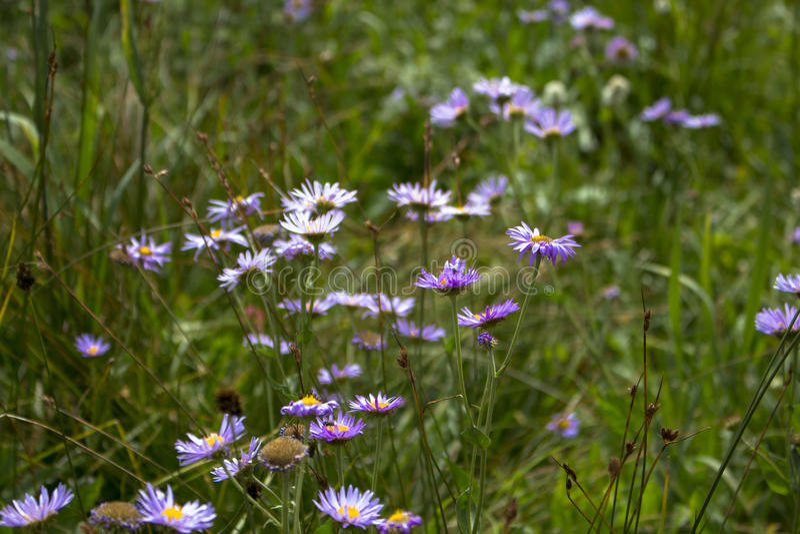 Wildflowers porpora fotografie stock libere da diritti