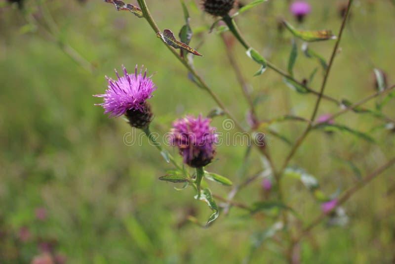 Wildflowers porpora che crescono in un prato fotografie stock libere da diritti