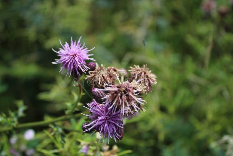 Wildflowers porpora che crescono in un prato fotografia stock
