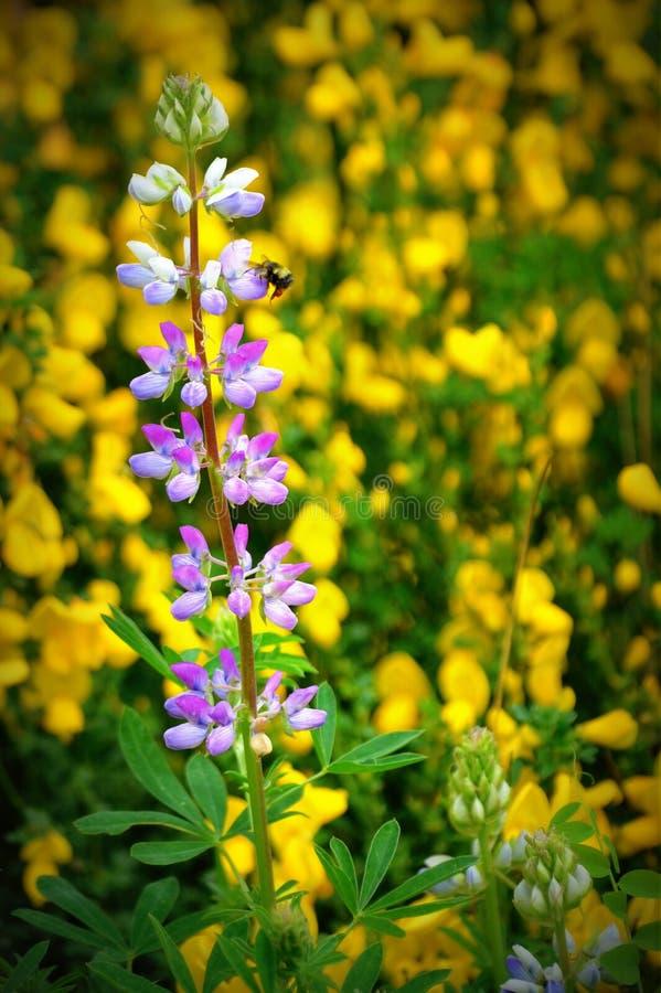 Wildflowers porpora e gialli immagini stock