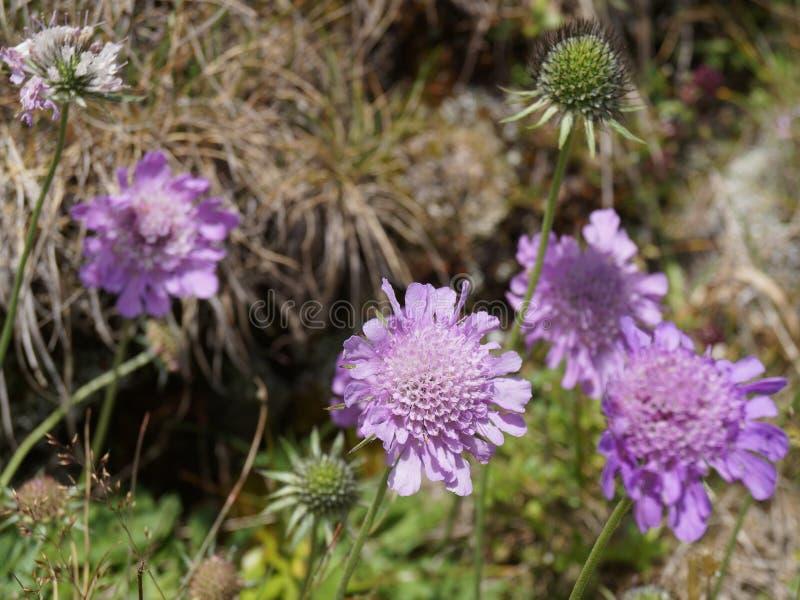 Wildflowers porpora - scabios (Scabiosa) immagini stock