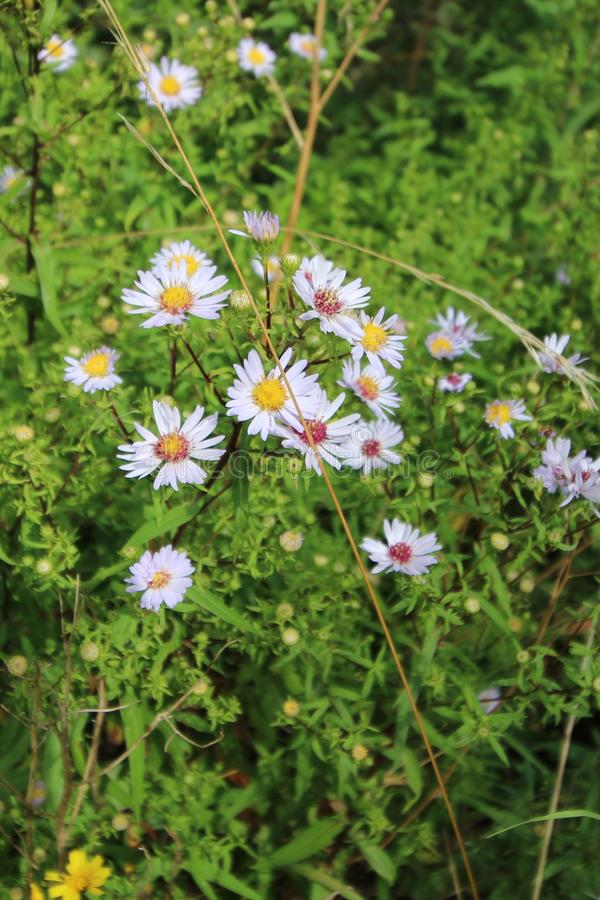 Wildflowers porpora in siepe di arbusti immagini stock libere da diritti