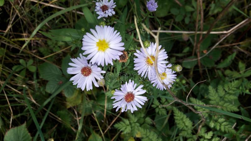Wildflowers porpora in siepe di arbusti fotografia stock