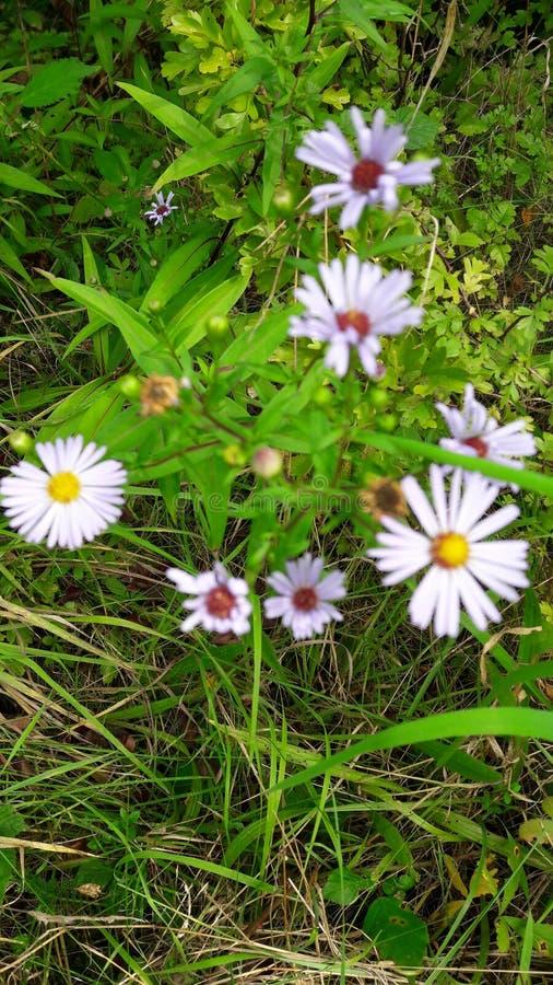 Wildflowers porpora in siepe di arbusti immagini stock