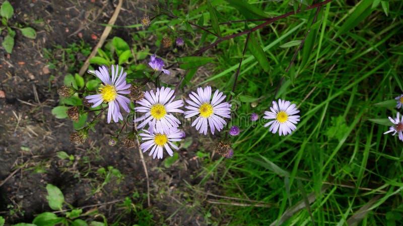 Wildflowers porpora in siepe di arbusti immagine stock