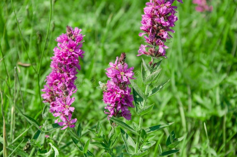 Wildflowers porpora su un fondo verde immagine stock libera da diritti