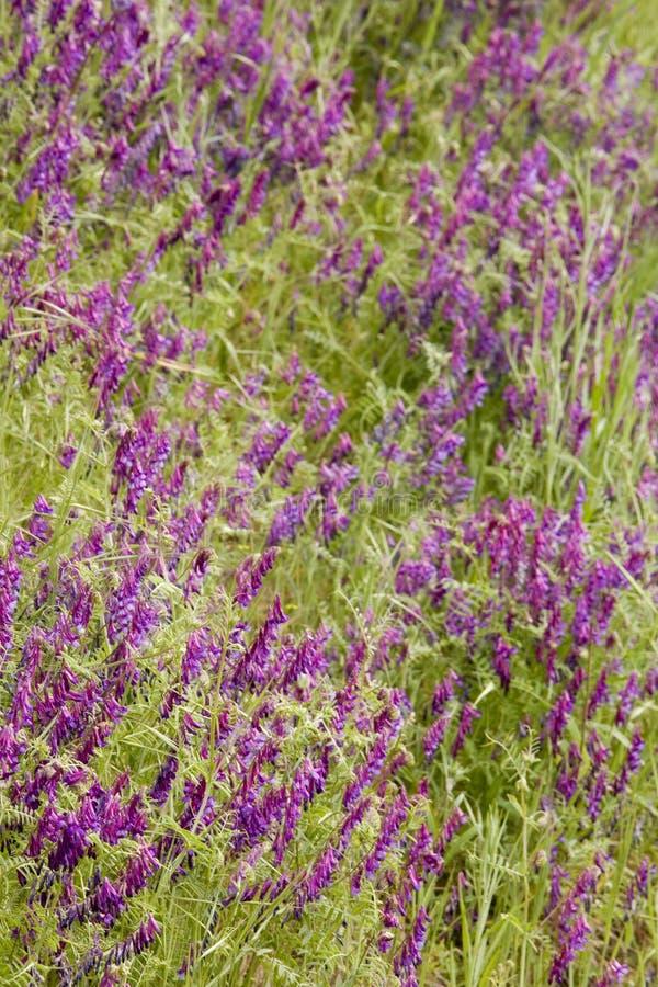 Wildflowers pourprés lumineux photos stock