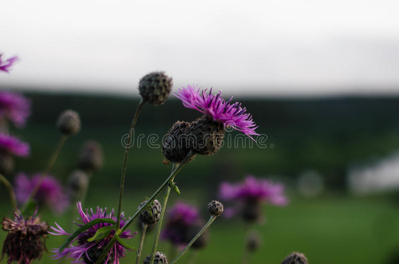 Wildflowers pourpres photos stock