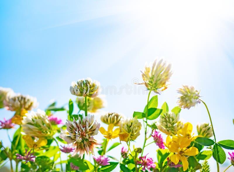 Wildflowers przeciw niebieskiemu niebu w s?onecznym dniu zdjęcie stock