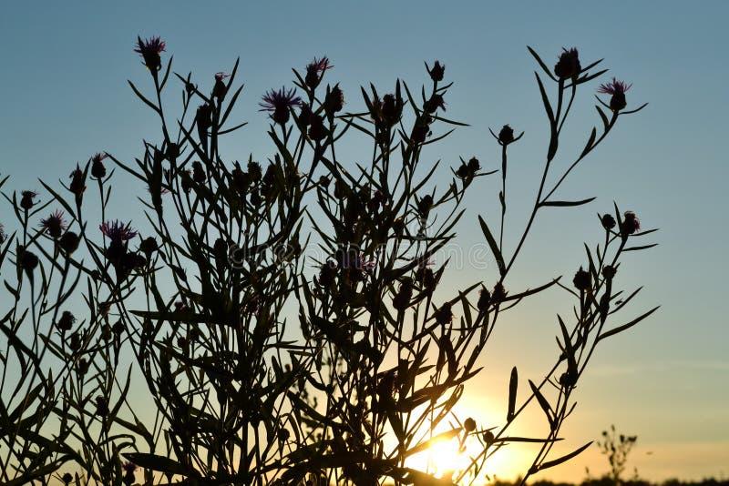 Wildflowers przeciw niebu przed położenia słońcem zdjęcia stock