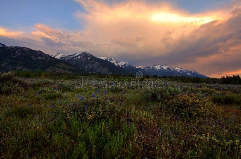 Wildflowers przy Uroczystym Tetons zdjęcie stock