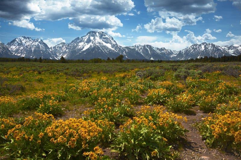 Wildflowers przy Uroczystym Tetons obraz royalty free