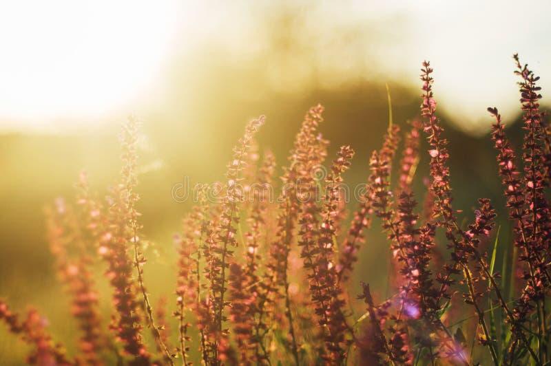 Wildflowers przy zmierzchem Pole z dzikimi kwiatami małe purpury w zdjęcia stock