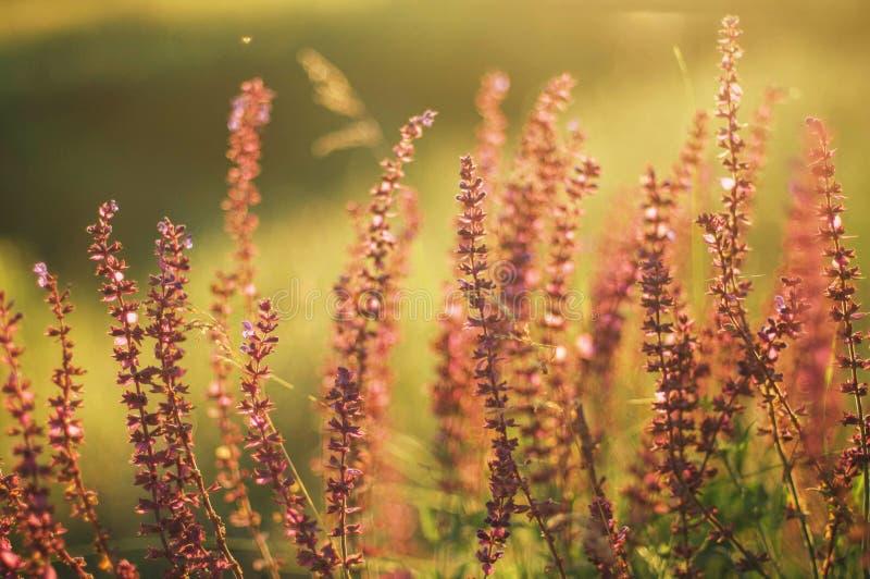 Wildflowers przy zmierzchem Pole z dzikimi kwiatami małe purpury w zdjęcie royalty free