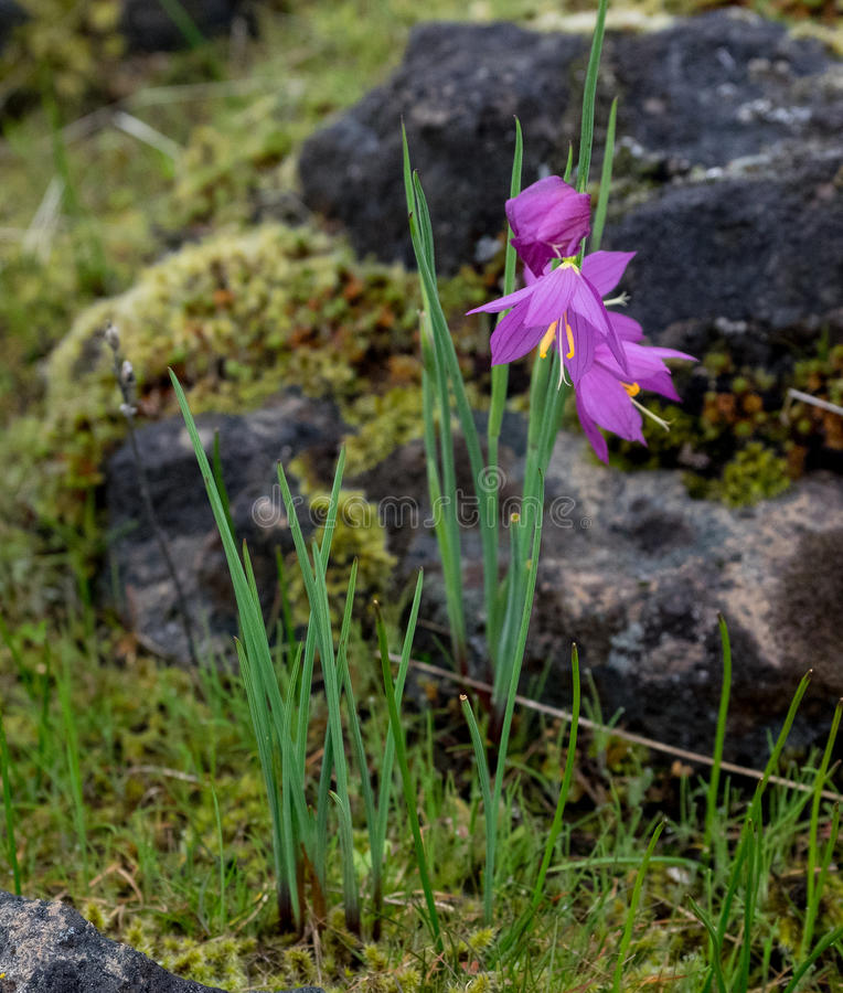 Wildflowers in rocky meadow stock image