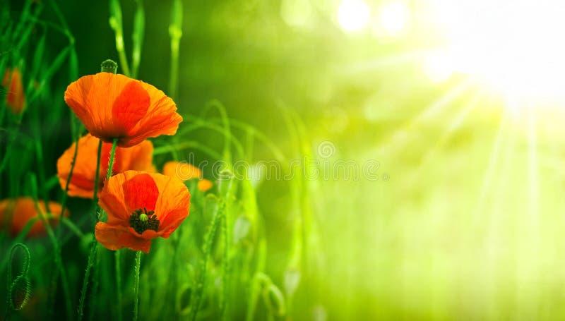 Wildflowers, Rode Papavers in Aard royalty-vrije stock afbeeldingen