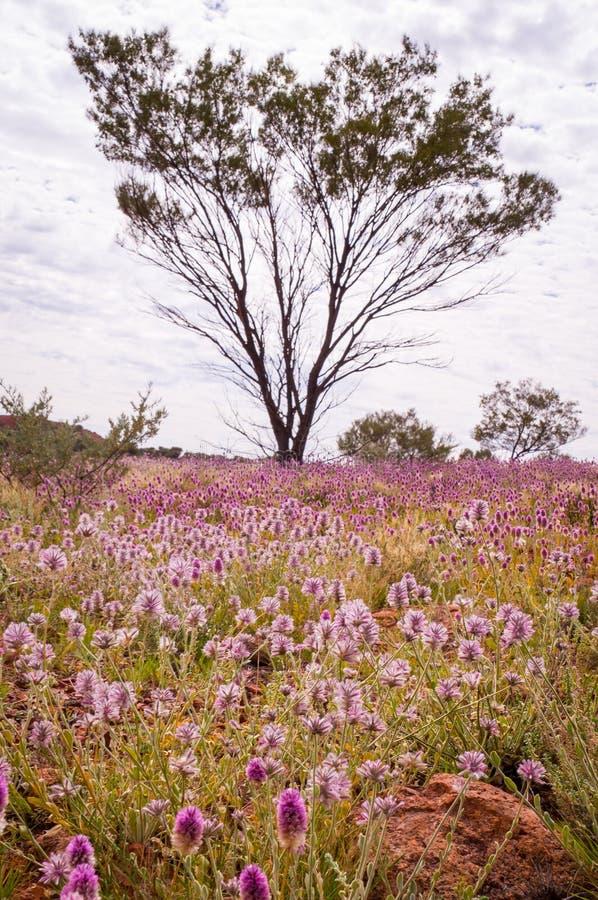 Wildflowers rosa di Mulla Mulla che fioriscono nell'entroterra australiana fotografie stock libere da diritti