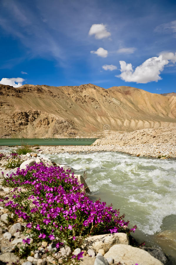 Wildflowers roxos no lago Bulukul, Tajikistan foto de stock