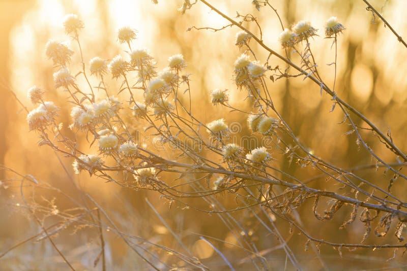 Wildflowers secos e bokeh bonito do por do sol foto de stock royalty free