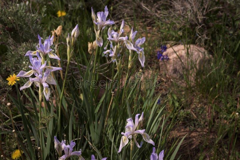 Wildflowers selvatici della montagna di missouriensis di Iris Iris in Colorado fotografie stock