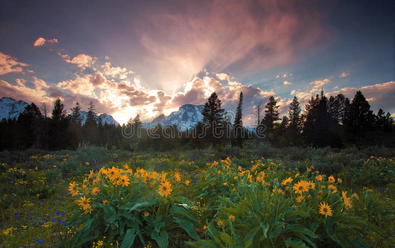 Wildflowers and sunset. Sunset in a meadow of wildflowers in Wyoming royalty free stock image