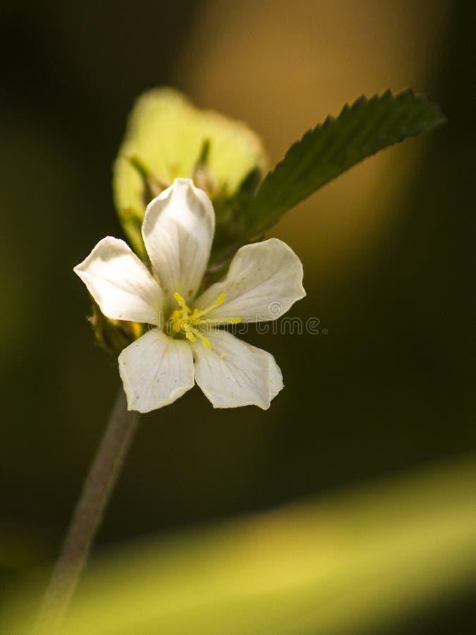 Wildflowers timides et ouverts dans la campagne image libre de droits