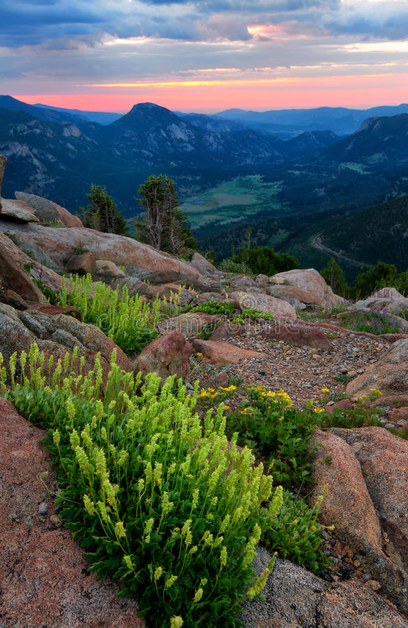 Wildflowers on Trail Ridge Road in Rocky Mountain National Park royalty free stock image