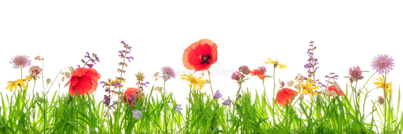 Wildflowers und Blätter des grünen Grases vor Weiß, Fahne stockfotos