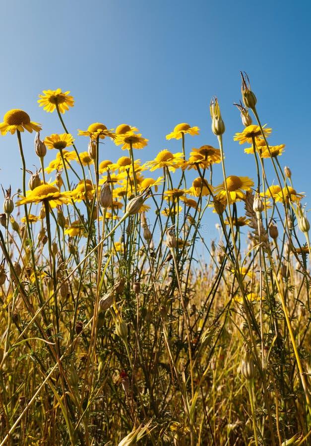 Wildflowers van de zomer bij Nederlandse gebiedsmarge royalty-vrije stock foto's