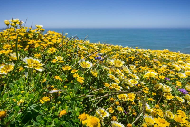 Wildflowers van Layiaplatyglossa riepen algemeen kusttidytips, die op de Vreedzame Oceaankust, Mori Point, Pacifica bloeien, royalty-vrije stock fotografie