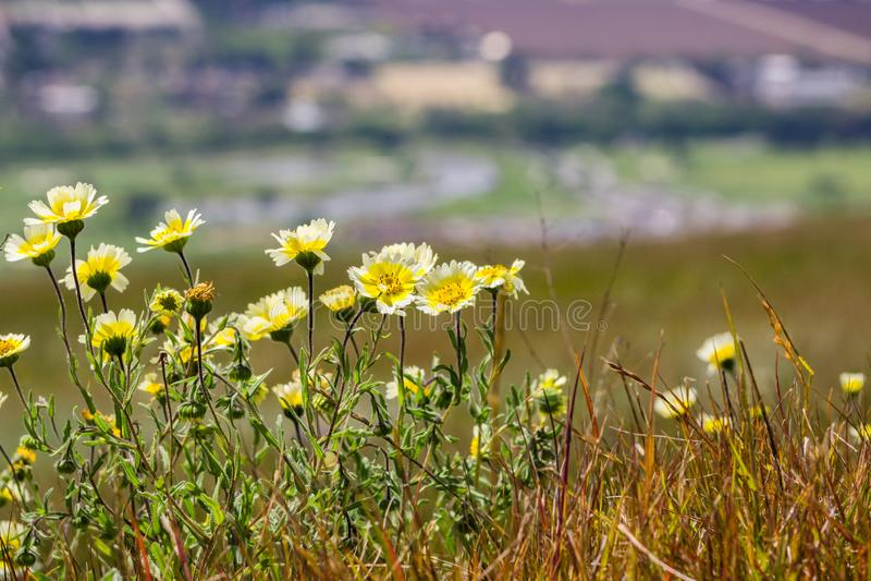 Wildflowers van Layiaplatyglossa riepen algemeen kusttidytips die op een heuvel groeien; vage stad op de achtergrond, Californië stock afbeelding